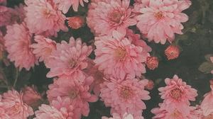 Flowers Nature Plants Petals Pink Flowers 1960x4032 Wallpaper