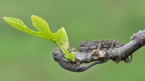 Chameleon Lizard Reptile Wildlife 2048x1289 Wallpaper