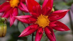 Dahlia Earth Flower Red Flower 4752x3168 wallpaper