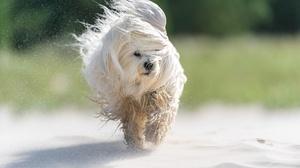 Dog Havanese Pet 2048x1365 wallpaper