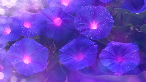 Nature Flowers Morning Glory Purple Flowers 2560x1600 Wallpaper