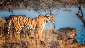 Big Cat Tiger Wildlife Predator Animal 2048x1366 wallpaper