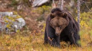 Bear Wildlife Predator Animal 2000x1432 Wallpaper