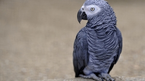Animal African Grey Parrot 1920x1278 wallpaper