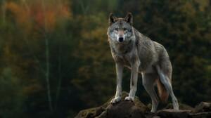 Wildlife Wolf 1920x1080 Wallpaper