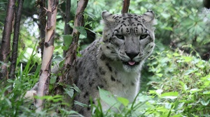 Animal Snow Leopard 4272x2848 Wallpaper