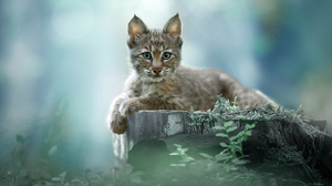 Svetlana Pisareva Animals Feline Lynx Blue Eyes Fur Whiskers Nature Plants Depth Of Field Looking At 1800x1199 Wallpaper