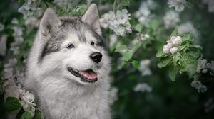 Dog Husky Pet 2560x1706 Wallpaper