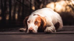 Dog Pet 2560x1643 wallpaper