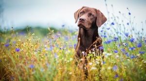 Dog Labrador Retriever Meadow Pet 2048x1365 Wallpaper