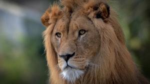 Big Cat Lion Wildlife Predator Animal 2048x1410 wallpaper