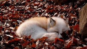 Fox Leaf Sleeping Wildlife 1920x1276 wallpaper