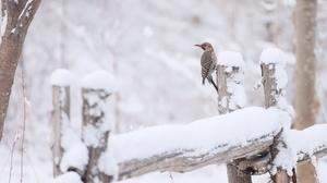 Bird Northern Flicker Snow Wildlife Winter 3072x1886 wallpaper
