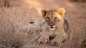 Baby Animal Big Cat Cub Lion Wildlife 4881x2969 wallpaper