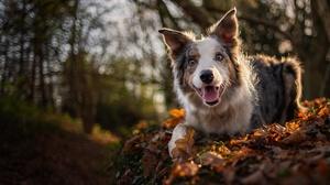 Border Collie Dog Pet 6144x4608 Wallpaper