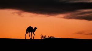Africa Algeria Camel Desert Sahara Sunset Tassili N 039 Ajjer 4320x2430 wallpaper