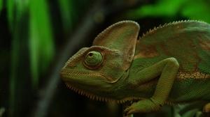 Chameleon Green Lizard Reptile Wildlife 2048x1356 Wallpaper