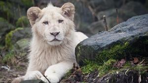 Animal White Lion 3888x2592 wallpaper