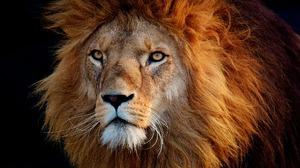 Big Cat Lion Portrait Stare Predator Animal 1920x1279 wallpaper