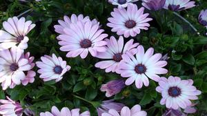 Close Up Daisy Flower Leaf Purple Flower 1920x1200 Wallpaper