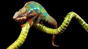 Colors Colorful Branch Lizard Reptile 2048x1342 wallpaper