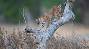 Big Cat Lynx Wildlife Predator Animal 2048x1365 wallpaper