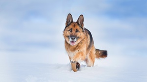 Dog Pet Snow Depth Of Field 5093x2952 Wallpaper