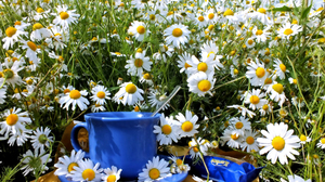 Camomile Cup Flower Still Life Summer White Flower 2700x2025 Wallpaper