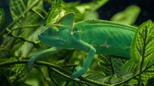 Chameleon Green Lizard Wildlife 2048x1371 Wallpaper