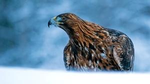 Bird Bird Of Prey Eagle Wildlife 2048x1250 Wallpaper