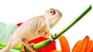 Animal Chameleon 4288x2848 Wallpaper