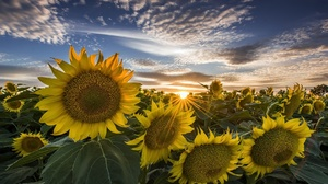 Flower Nature Summer Sunflower Sunrise Yellow Flower 1920x1280 Wallpaper