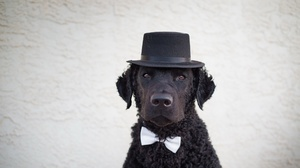 Curly Coated Retriever Dog Hat Muzzle Pet 2048x1150 Wallpaper