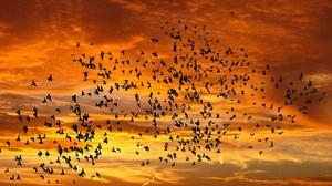 Flying Sunset Flock Of Birds 3840x2160 wallpaper