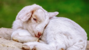 Baby Animal Goat Lying Down 4896x3264 wallpaper