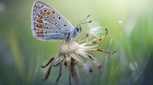 Butterfly Dandelion Insect Macro Summer 1949x1301 Wallpaper